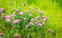 Purple flowering clover plants from close Royalty Free Stock Photo
