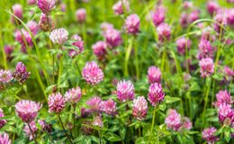 Purple flowering clover plants from close Royalty Free Stock Photos