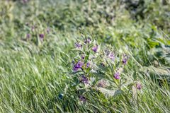 Purple flowering comfrey plant between the grass. Closeup of a purple flowering comfrey plant blowing in the wind between the grass. It is a sunny day in the Stock Images
