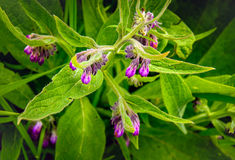 Purple flowering common comfrey from close Stock Photo