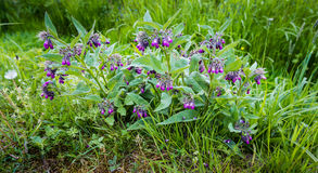 Purple flowering common comfrey plants from close Royalty Free Stock Photo