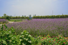 Purple flowering farmlands in sunny summer Stock Images