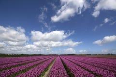 Purple flowering flowers Royalty Free Stock Image