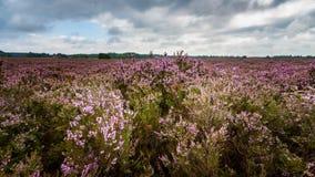 Purple flowering heath plants in a moorland Stock Photo