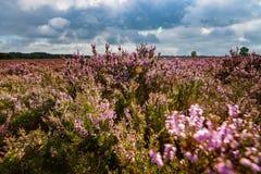 Purple flowering heath plants in a moorland Stock Photography