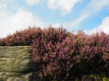 Purple flowering heather growing on a boulder in the yorkshire moors with a blue bright cloudy sky. Purple flowering heather growing on a gritstone boulder in Royalty Free Stock Image