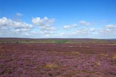 Purple flowering heather moorland Royalty Free Stock Photo
