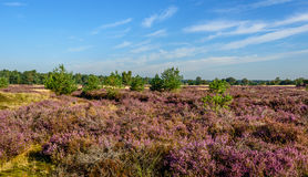 Purple flowering heathland in a Dutch nature reserve Royalty Free Stock Photos