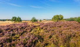 Purple flowering heathland in a Dutch nature reserve. Picturesque and colorful landscape in a Dutch nature reserve on a sunny day with a bright blue sky in Royalty Free Stock Image