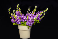 Purple flowering hoary stock blooms in a vase against a black ba Royalty Free Stock Photos