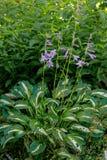Purple flowering Hosta on natural blurred background.