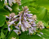 Purple flowering Hosta with rain drops on natural blurred background.