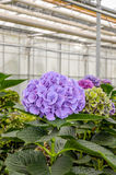 Purple flowering Hydrangea in a  Hydrangea cut flowers nursery Royalty Free Stock Photography