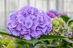 Purple flowering Hydrangea in a  Hydrangea cut flowers nursery Royalty Free Stock Photography