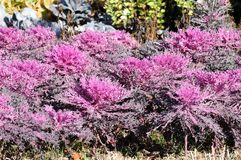 Purple Flowering Kale (Ornamental Cabbage) Stock Photos