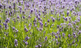 Purple flowering Lavender Royalty Free Stock Images