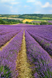 Purple flowering lavender fields in english countryside. Lines of purple lavender flowers in bloom, descending downhill, in a valley with farms, by a woodland Stock Images