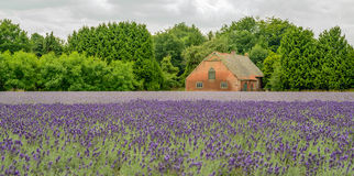 Purple flowering lavender plants in the field of a specialized p. Lant nursery in the Netherlands on a cloudy day in the beginning of the summer season. In the Stock Photography