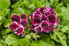 Purple flowering Martha Washington geraniums Royalty Free Stock Images