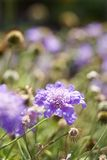 Purple flowering plant. Royalty Free Stock Photography