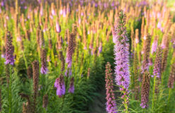 Purple flowering Prairie Gay Feather plants Royalty Free Stock Image