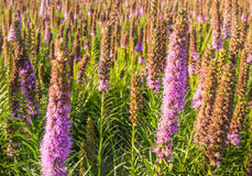 Purple flowering Prairie Gay Feather plants Stock Images