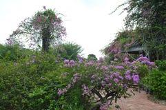 Purple flowering shrub at Singapore Botanical Gardens stock photography