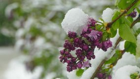 Violet blossoms are covered with snow. Purple flowering snow covered during snowfall stock footage