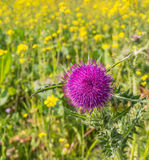 Purple flowering thistle Stock Photo