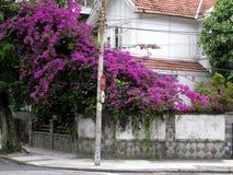 Purple flowering tree Royalty Free Stock Images