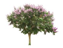 Free PurpLe Flowering Tree Isolated From The White Background Stock Photography - 148928802