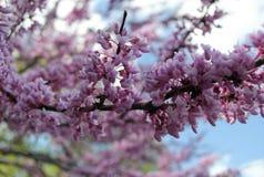 Purple flowering tree Stock Photos