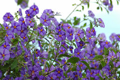 Purple flowers. Beautiful bush of Potato creeper flowers in the garden outdoors photographed against the sky Stock Photo