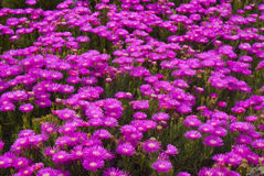 Free Purple Flowers Stock Photography - 14088712