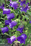 Purple Flowers. Against a sea of green leaves in the garden background stock images