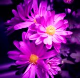 Purple flowers. Computer modified photo to make flower fairy beautiful Stock Photography