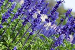 Purple flowers. Closeup of beautiful purple flowers Royalty Free Stock Images