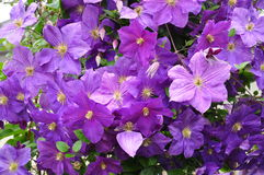 Purple Flowers Royalty Free Stock Photography