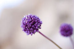 Purple flowers. Pair of purple flowers in the shape of a ball with a blurred background Stock Photography