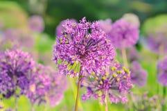 Purple flowers Stock Images