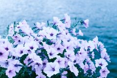 Purple flowers Royalty Free Stock Photo