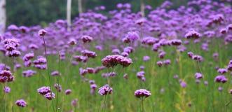 Purple flowers. Blooming flowers , beautiful garden Royalty Free Stock Image