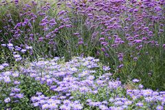 Purple flowers Stock Image