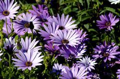 Purple_flowers stock fotografie