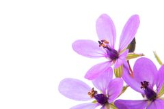 Purple flowers. Three purple flowers on white background Stock Images