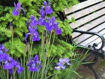 Purple flowers. A wrought iron and wood bench nestled in bright, spring foliage Royalty Free Stock Images
