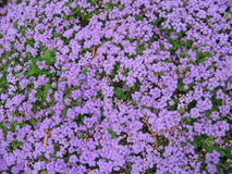 Purple Flowers. Hundreds of tiny flowers stock images