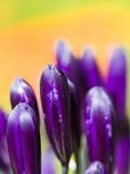 Purple Flowers. Bright purple flowers set against an orange background Royalty Free Stock Photo