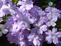 Purple flowers royalty free stock image