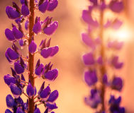 Purple flowers at abstract soft light Royalty Free Stock Photography